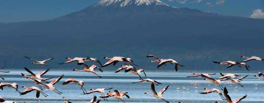 Kilimanjaro With Flamingos in front