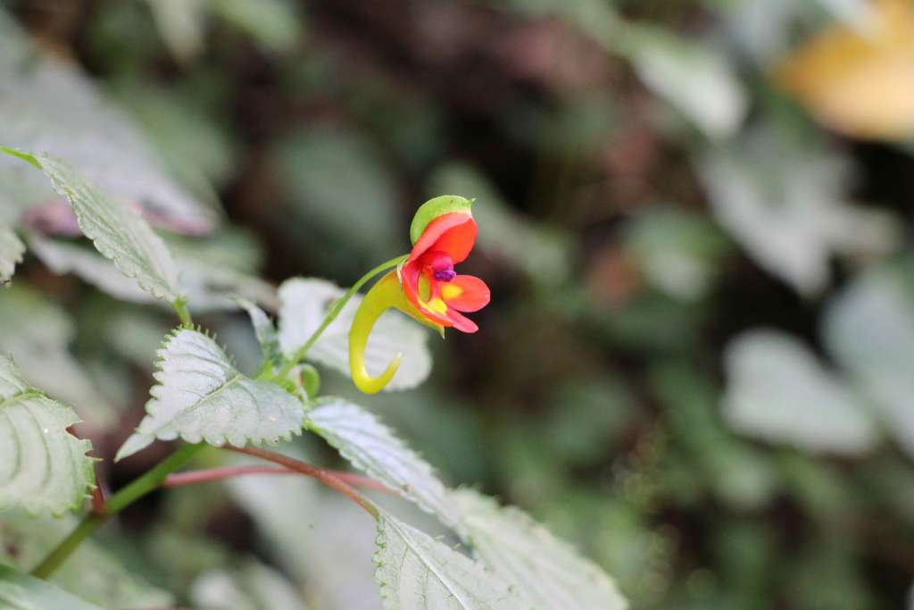 Impatiens Kilimanjari blossom on Machame Route, Kilimanjaro flora (Day 1)
