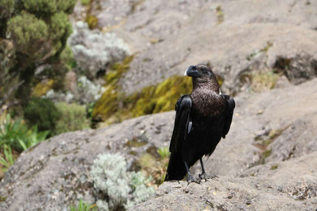 White necked raven, Kilimanjaro fauna (Day 2)